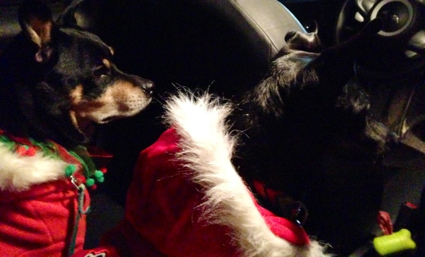 Canadian dogs in Christmas Jackets